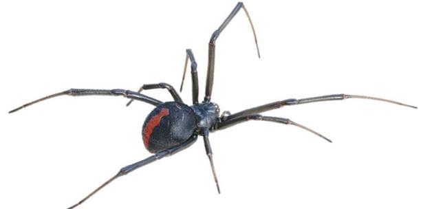 """crop capture 17 - Comunidad de Toa Alta es invadida por peligrosas arañas """"viuda negra"""""""