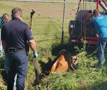 20200418 085343 360x301 - En estos momentos rescatan una vaca que calló en una alcantarilla en Toa Alta