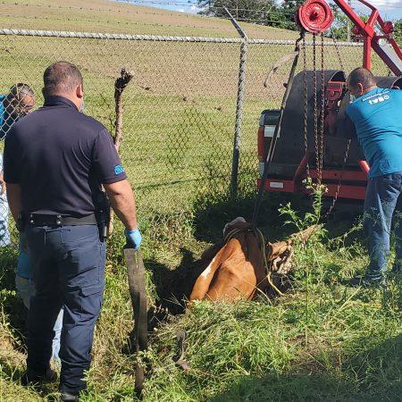 20200418 085343 450x450 - En estos momentos rescatan una vaca que calló en una alcantarilla en Toa Alta